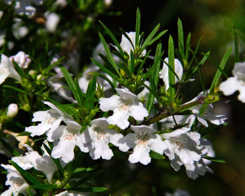 Westringia longifolia Snow Flurry - tubular white flowers