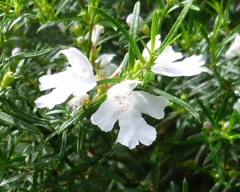 Westringia longifolia - the long leafed Westringia