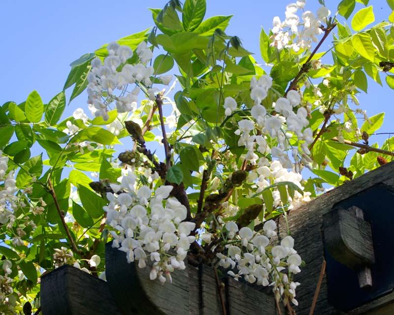 Wisteria brachybotrys  cv Okayama Issai -Sydney Botanic Gardens
