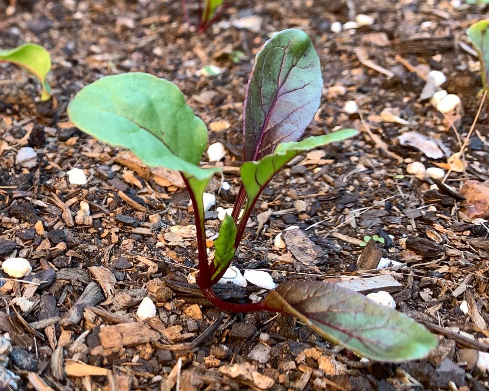 Beta vulgaris - healthy seedling