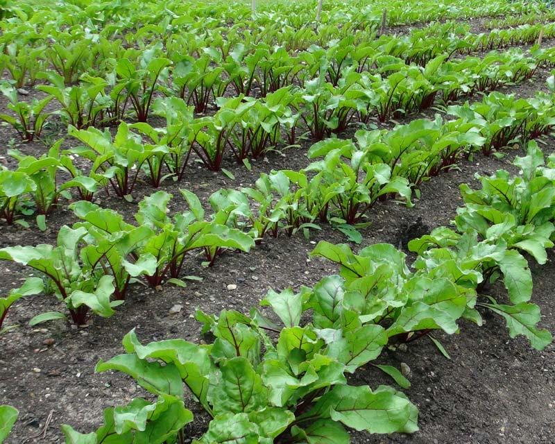 Beta vulgaris Beetroot grown on large scale at RHS Wisley