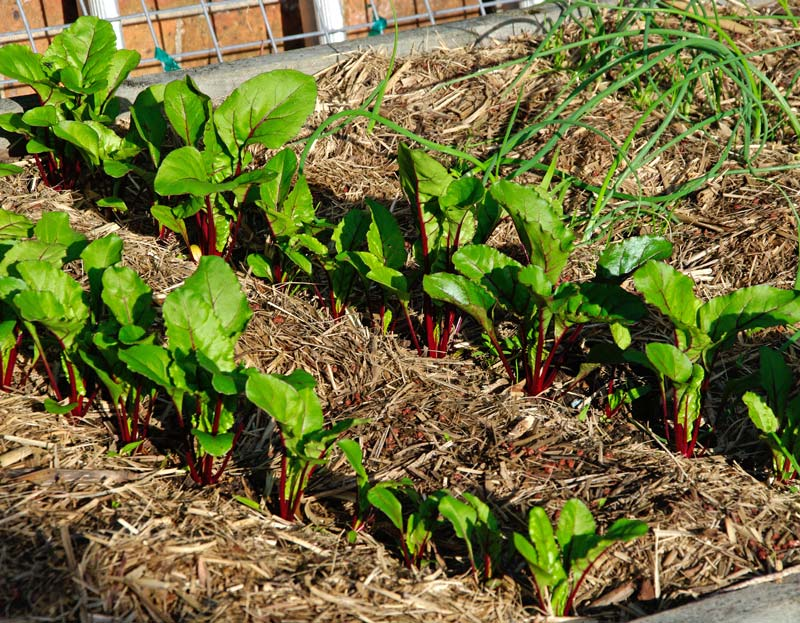 Healthy beetroot plants - seedlings were planted out 4 weeks ago