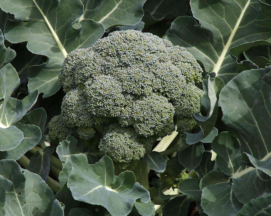Brassica oleracea Cymosa