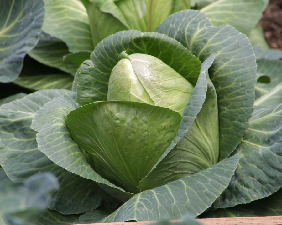 Brassica oleracea Capitata Group - Cabbage, this is Sugarloaf variety
