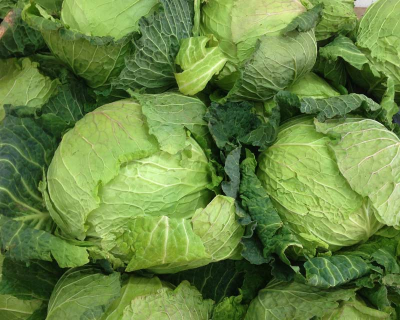 Brassica oleracea Capitata - the savoy cabbage
