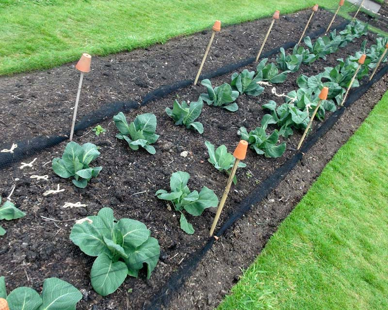 Netted vegetable bed - protect the cabbages from ducks, rabbits etc