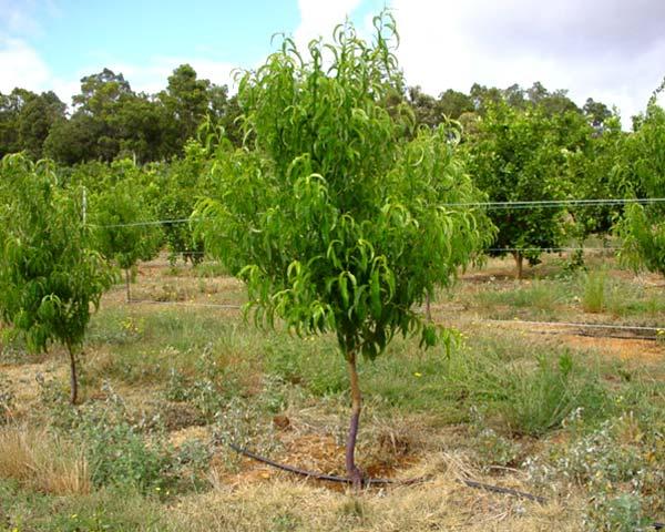 Drive Time Locations >> GardensOnline: Prunus persica var. nectarina