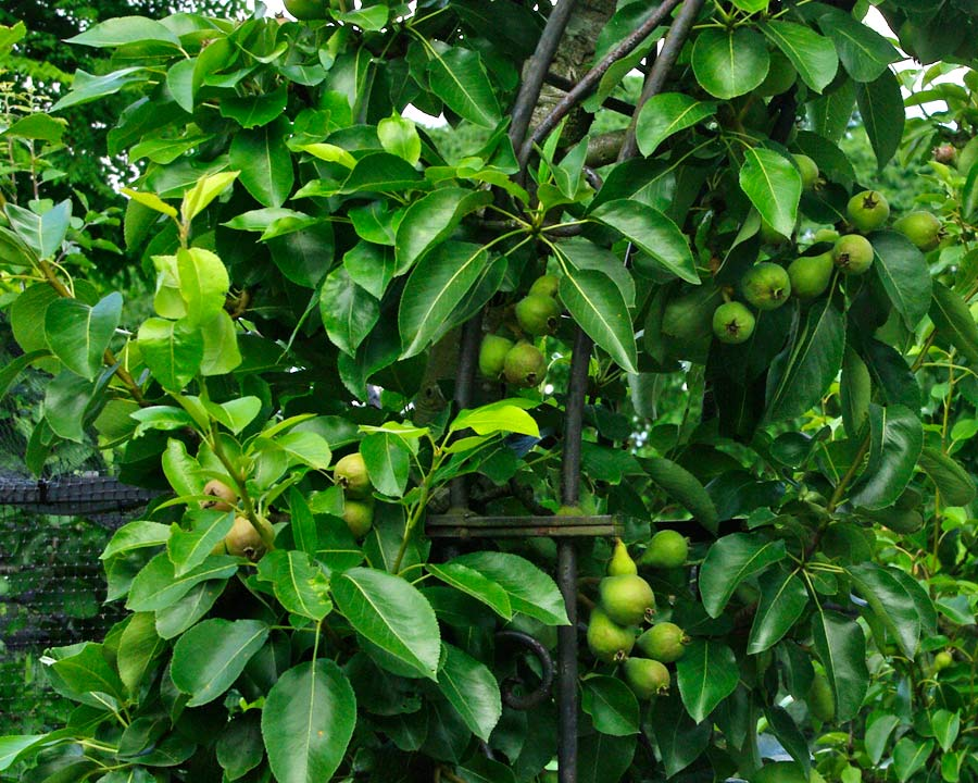 Pyrus communis 'Beth' - tree grows to about 2.5m  Produces lots of eating pears