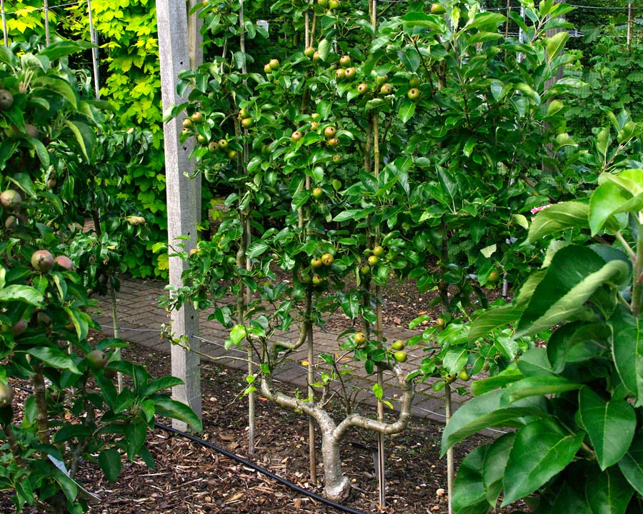 Pyrus communis Delbardelice 'Delete'. Trained as Double Cordon produces large crops of pears