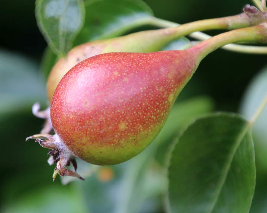 Pyrus 'Louise Bonne of Jersey' is an old French variety with attractive red and green fruit