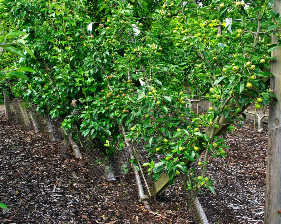 Trials at RHS Wisley using Cordons (modified lorette system) to grow pears. Pyrus communis Delbardelice