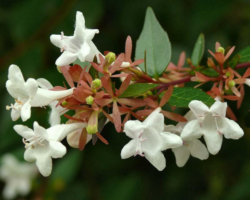 Abelia x grandiflora Nana