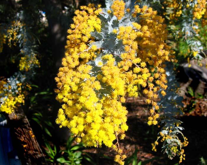 Acacia Baiyleana Pupurea blossom