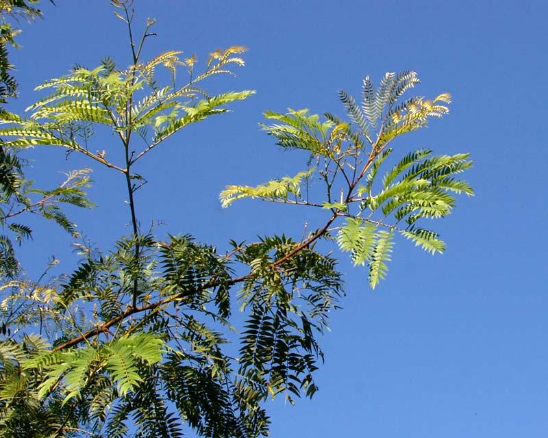 Acacia Elata - Cedar Wattle