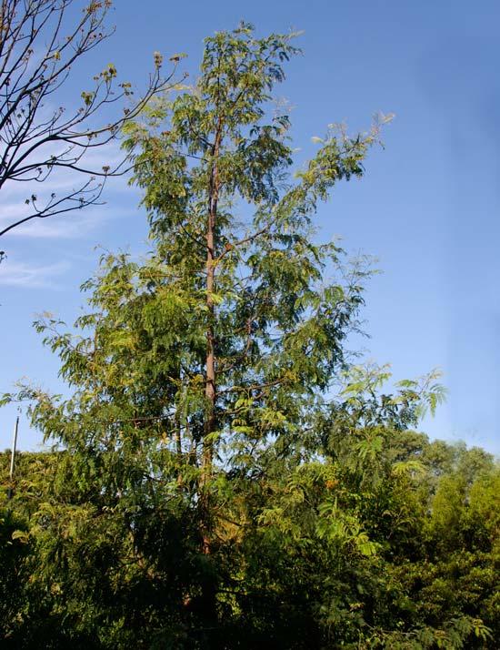 Acacia Elata - Cedar Wattle  Elata means tall