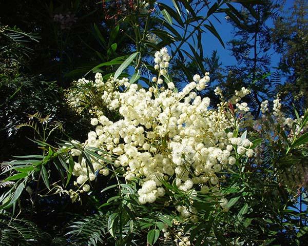 Acacia elata - sprays of creamy yellow globular flowers