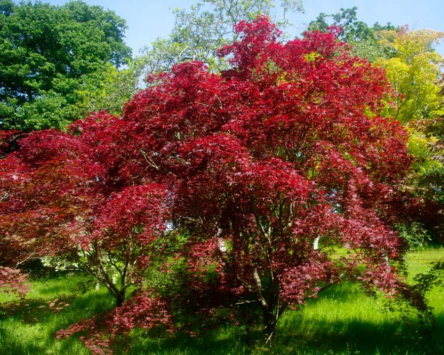 Deep red leaves of Acer palmatum 'Atropurpureum' - Bodnant Gardens, North Wales