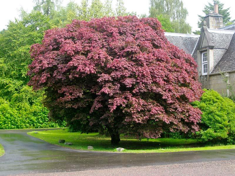 Gardensonline acer palmatum 39 atropurpureum 39 for Japanese trees for small gardens
