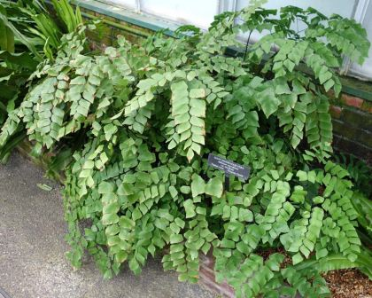 Adiantum trapeziforme or Silver Dollar fern - photo Daderot