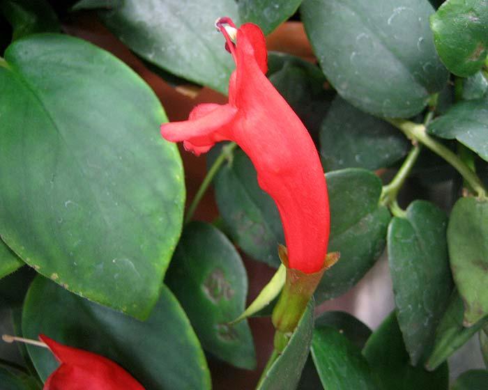 Aeschynanthus species