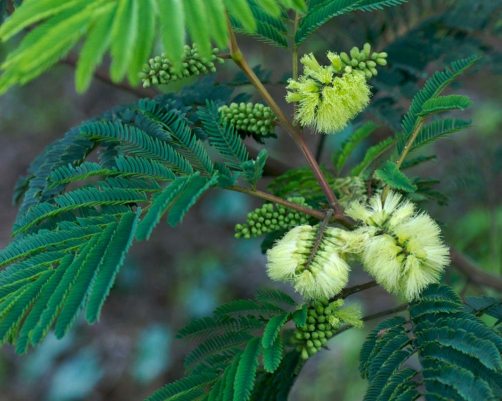 Albizia lophantha, sometimes known as Paraserianthes lophantha - photo in Berlin by BotBin
