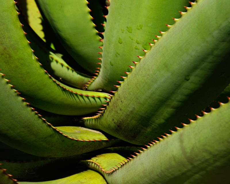 The leaves of Aloe ferox have cream and red tipped spines