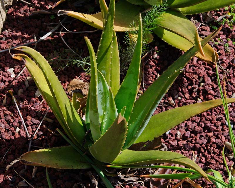 The leaves of the Aloe Vera plant are greener during the cooler months
