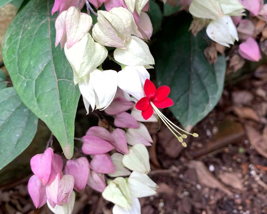 Clerodendron thompsoniae