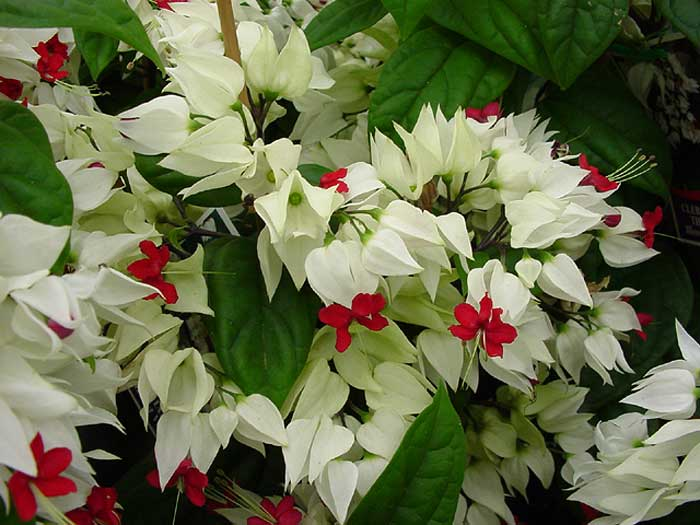 Clerodendrum thompsoniae - white bell of sepal surrounding a deep red trumpet of petals