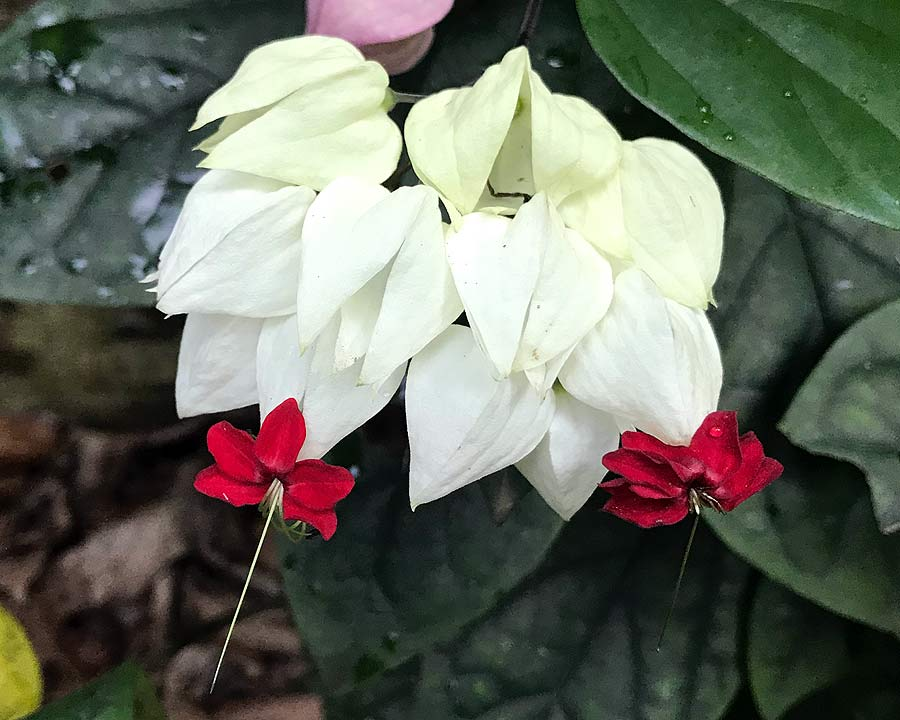 Clerodendrum Thompsoniae - Bleeding Heart Vine - with pink and white sepals and deep red flower