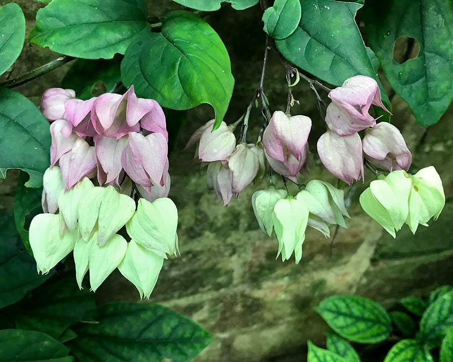 Clerodendrum thompsoniae - the pink and white sepals remain after the flowers have fallen