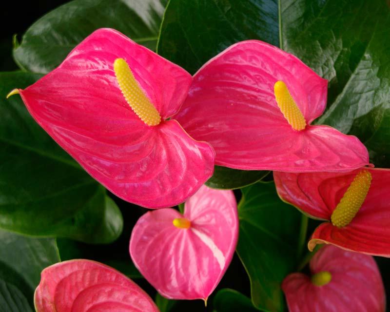 Anthurium andreanum Alabama Pink