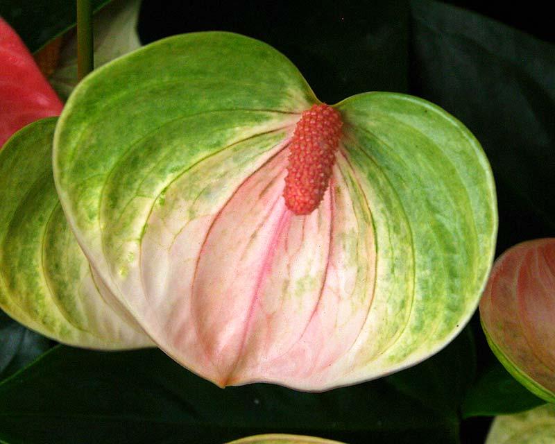 Anthurium andreanum Leganza