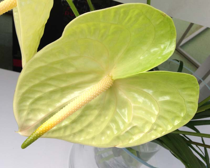 Anthurium andreanum Lemona