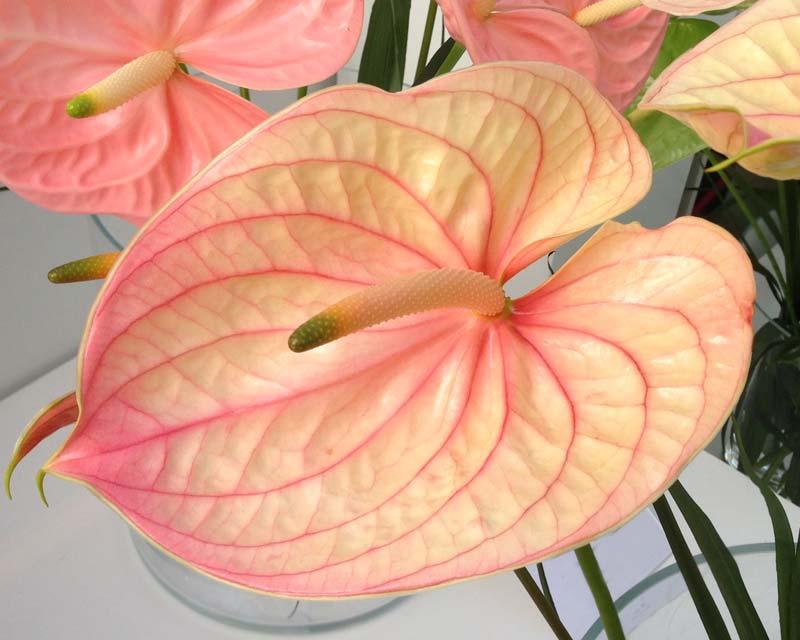 Anthurium andreanum Nunzia