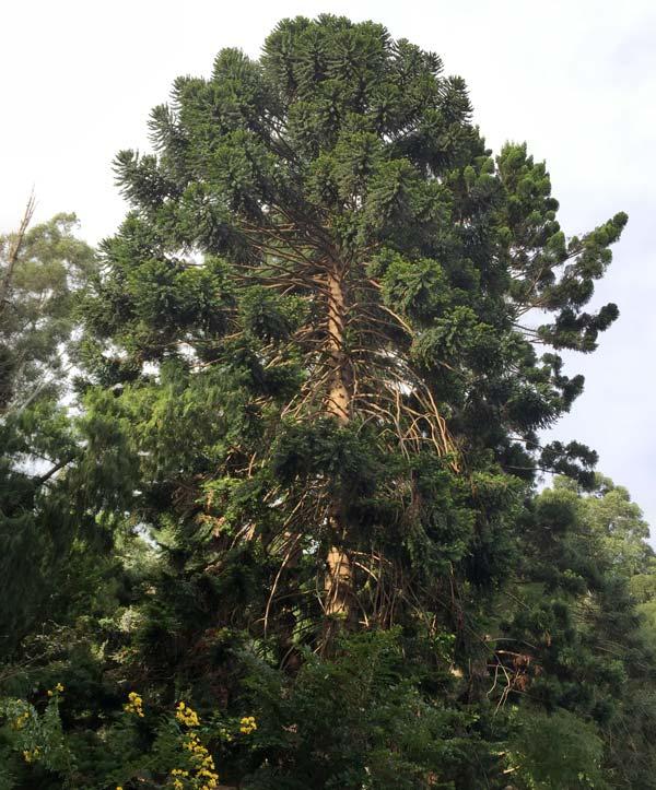 Araucaria bidwillii Bunya Bunya Pine - huge tree to 25m