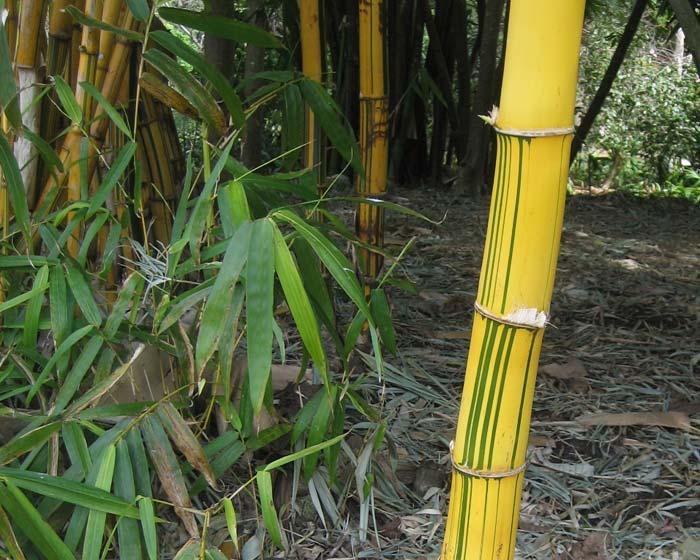 Bambusa multiplex. Bamboo