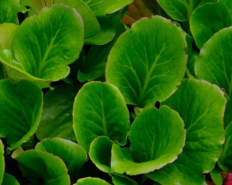 Bergenia cordifolia purpurea foliage