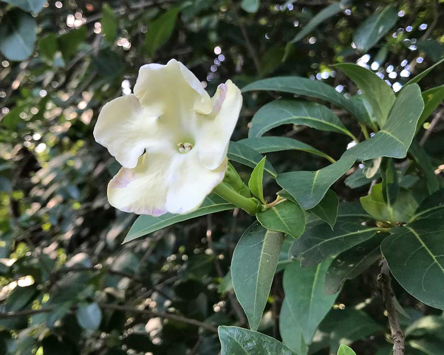 creamy white fragrant flowers of Brunfelsia americana