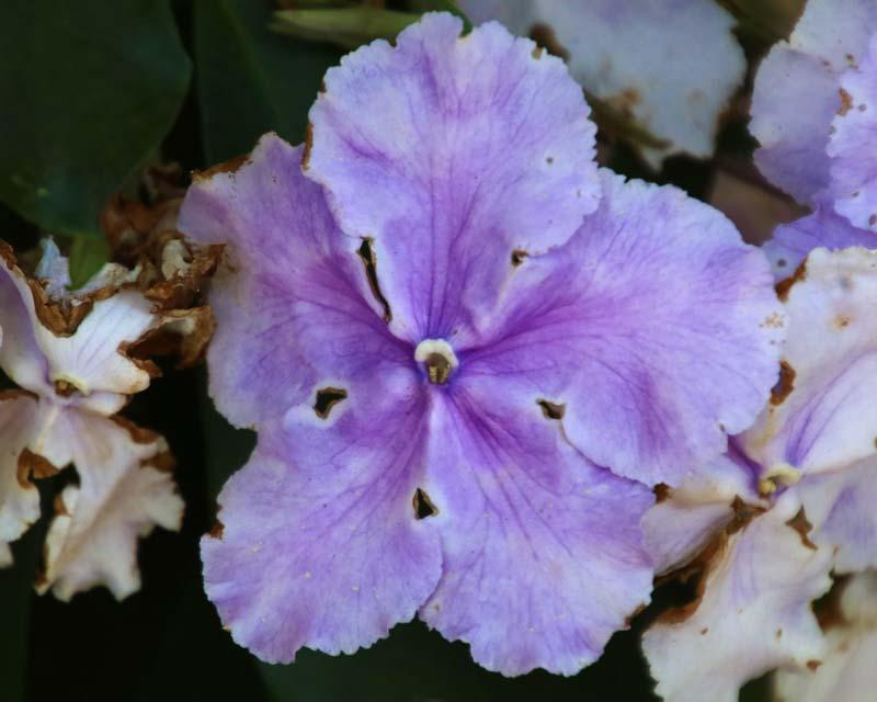 Brunfelsia pauciflora