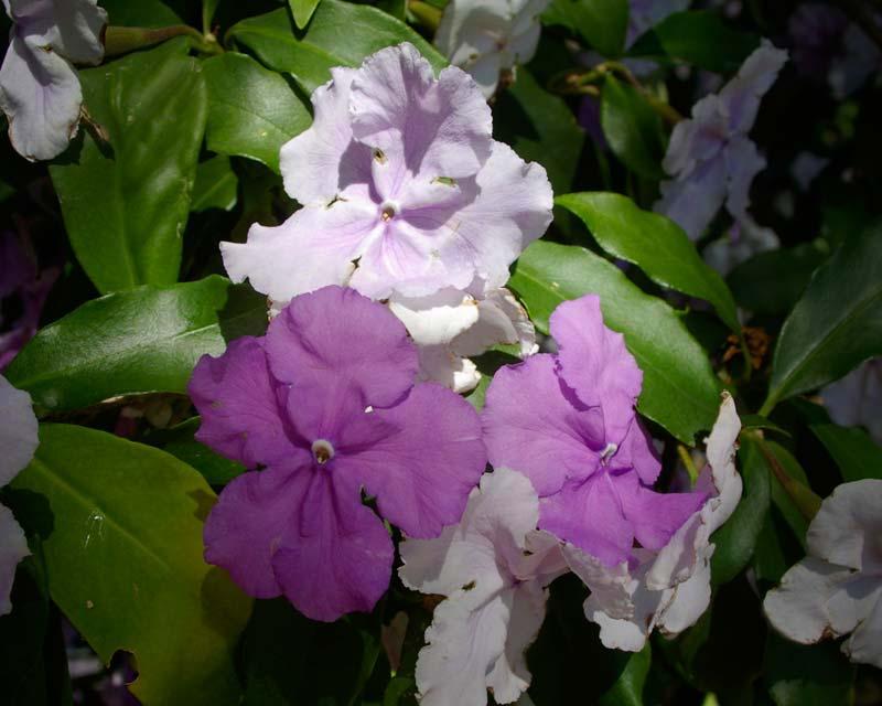 Brunfelsia pauciflora - the flowers turn mauve with age