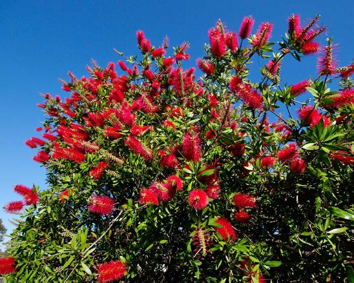 Garden Bush: GardensOnline: Callistemon Citrinus