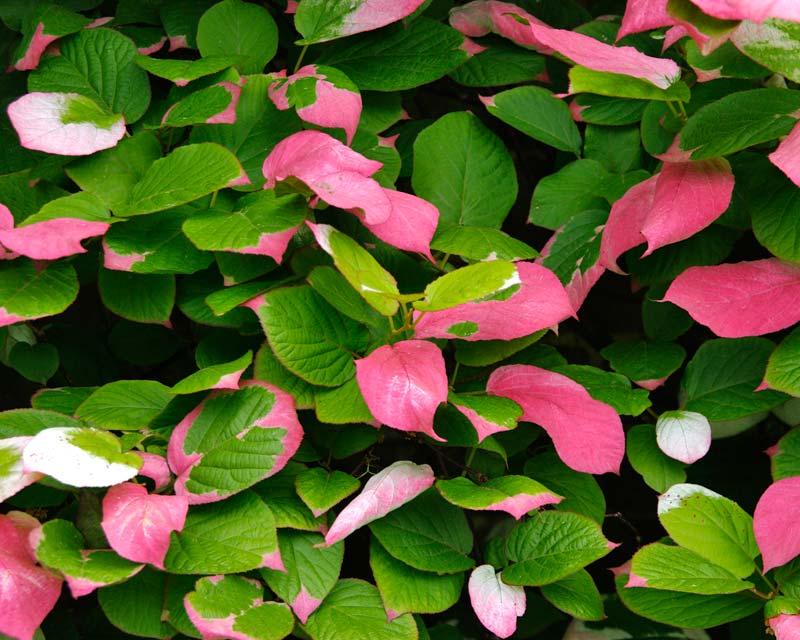 Actinidia kolomikta - pink cream and green leaves