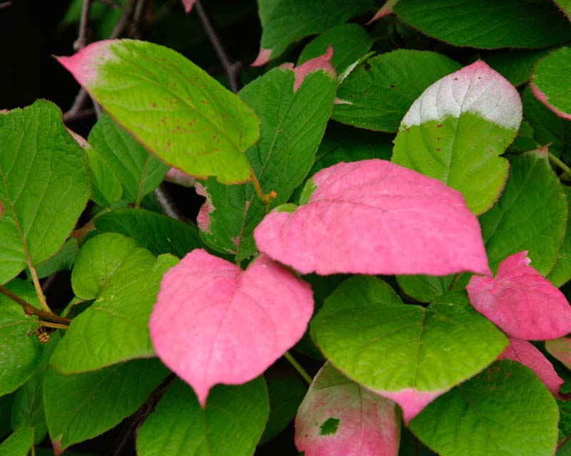 Actinidia kolomikta - pink green leaves