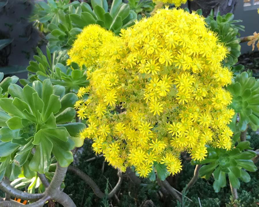 Aeonium arboreum, at its best when blooming.