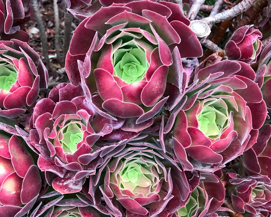 Aeonium arboreum 'Velour' has deep red outer leaves and  lime green inner leaves