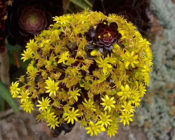 The zwartkop variety in flower