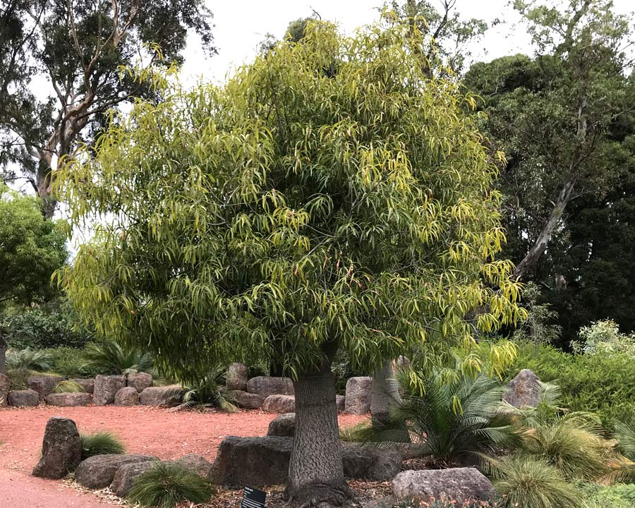 Brachychiton rupestris - Queensland Bottle Tree - the trunks of younger trees do not appear swollen