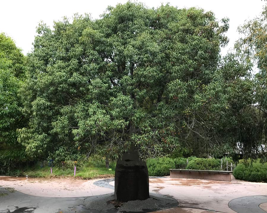 Brachychiton rupestris or Queensland Bottle Tree, wide canopy offers shade around the base