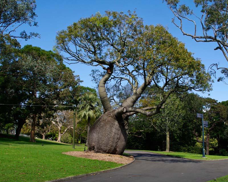 Queensland Bottle Tree - Brachychiton rupestris